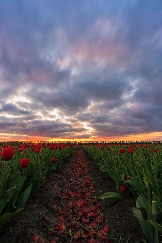 einde seizoen van de tulpen in Zeewolde.