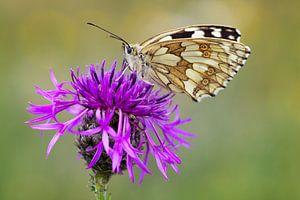 Dambord vlinder op vlokbloem