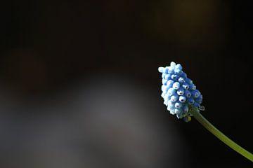 Minimaliste, raisin bleu mystérieux sur M.D. Jonk-Kwantes
