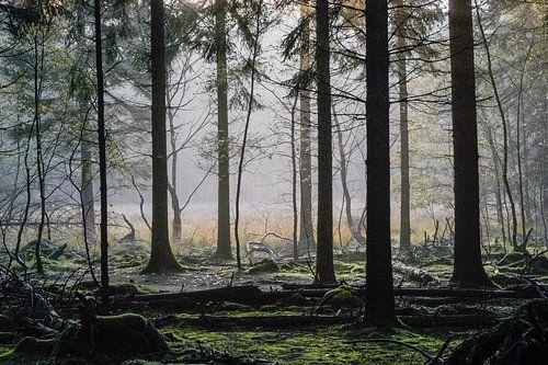 Mistig bos Spanderswoud, Hilversum, Noord Holland, Nederland