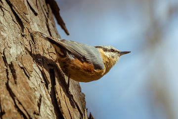 Vogel van het bos - Nuthatch van Tobias Luxberg