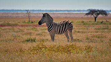 Eenzame zebra te midden van een kleurrijke weide in Etosha