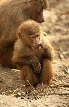 Jonge aap bij zijn moeder van Richard Zeinstra