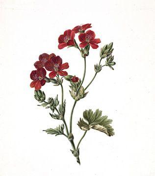 Rode bloem, M. de Gijselaar - 1830