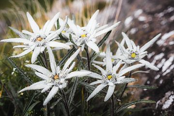 Edelweiss von Coen Weesjes