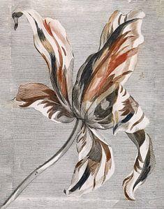 Botanische Tulpe von Affect Fotografie