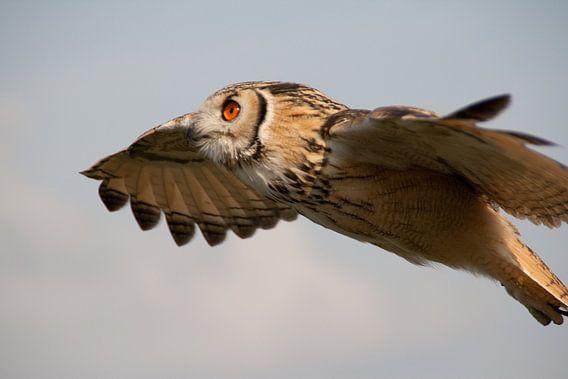 Owl in flight van Marco de Groot