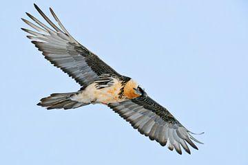 Bartgeier / Lämmergeier ( Gypaetus barbatus ) im Flug,  Alpen , wildlife, Europa. von wunderbare Erde
