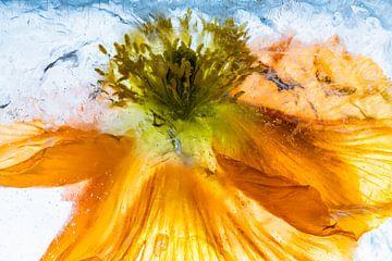 Close-up vom Isländischen Mohn in Eis 2