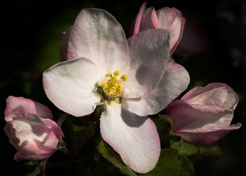 Appelbloesem - Apple blossoms van Leo Langen