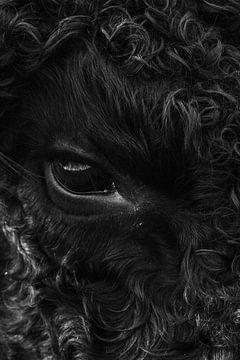 Galloway-Kuh von Martzen Fotografie