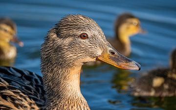 Ente mit Nachwuchs von Ed Steenhoek