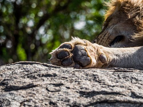 Leeuwenpoot van