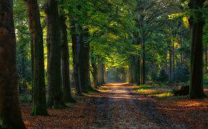 Bos laan in het Baarnse Bos..