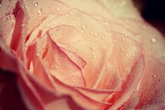 rose.... van Els Fonteine