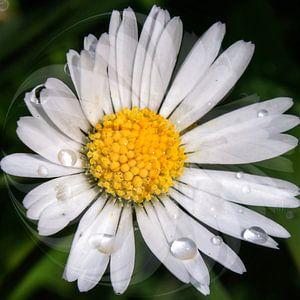 Daisy  - sprankelende druppels van