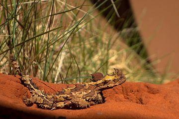 Thorny Devil, Alice Springs Desert Park. van Tessa Louwerens