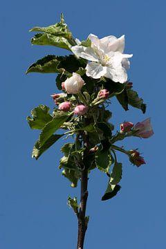 Fleur de pommier sur Adri Vollenhouw