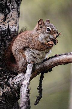 Amerikanisches Rotes Eichhörnchen von Jeroen Wehkamp