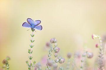 Heideblauwtje sur Judith Borremans
