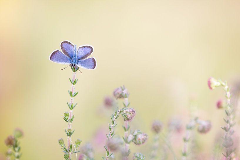 Heideblauwtje van Judith Borremans
