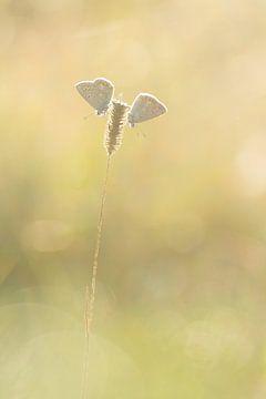 Heideblauwtjes van Vince Pellegrom
