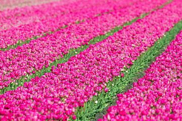 Roze tulpen  van Dennis van de Water