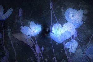 Blau Papaver