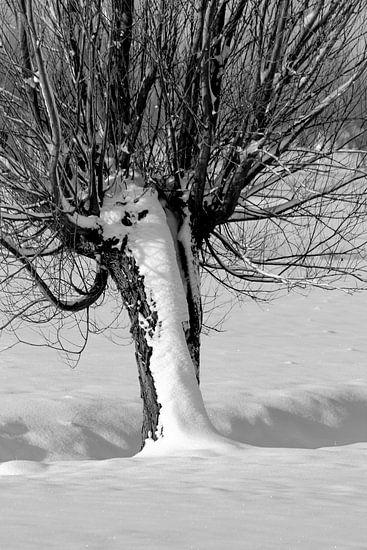 Knotwilg in de sneeuw