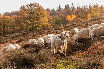 Grazende kudde schapen op de veluwe (2) van