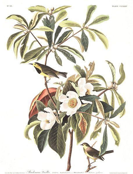Bachmans Zanger van Birds of America