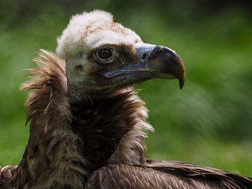 monniksgier : Koninklijke Burgers' Zoo van Loek Lobel