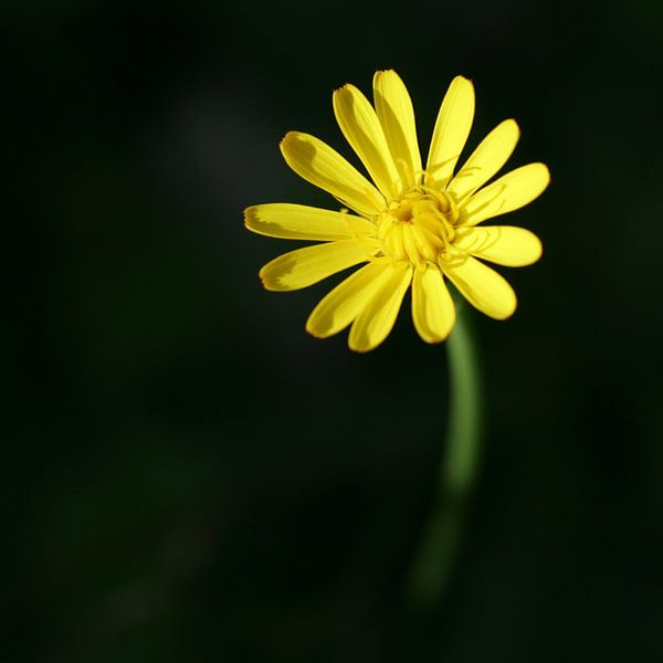 Gele bloem van Lynn van Baaren