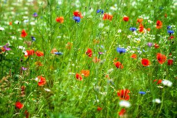Veld met grassen, korenbloemen, klaprozen en margrieten van R Smallenbroek