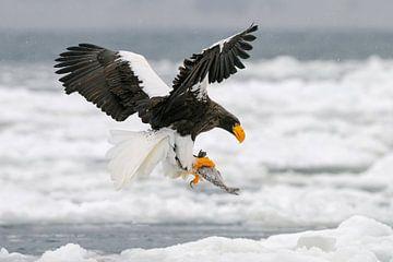 So kalt wie Eis (Riesenseeadler) von Harry Eggens
