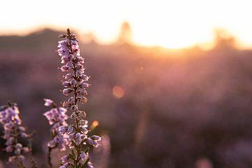 Heideblume im Sonnenaufgang von Lieke Roodbol