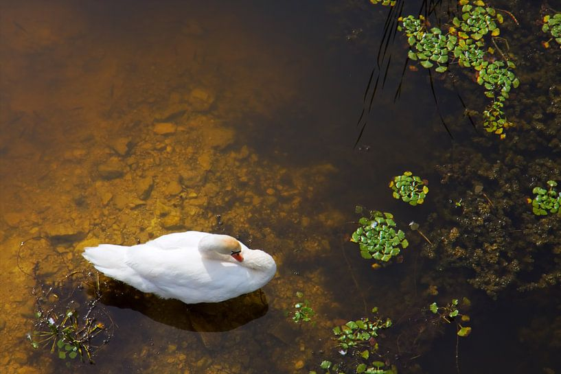Swan with sun reflection on water sur Jan Brons