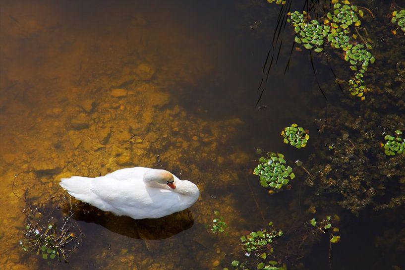 Zwaan met zon reflecties op het water van Jan Brons