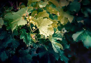 wijn plant van