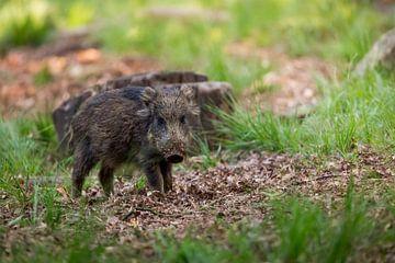 Wild zwijn in het bos van Evert Jan Kip