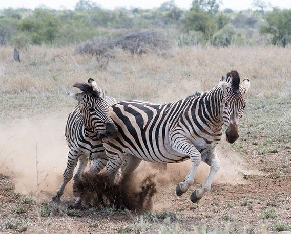 Playful fight! van Robert Kok