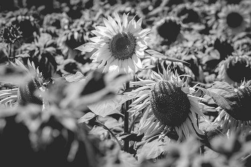 Zonnebloemenveld in zwart wit