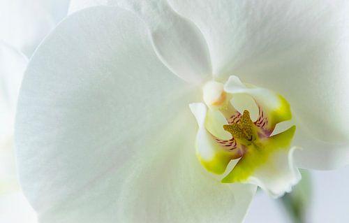 Detail van een witte orchidee, close up