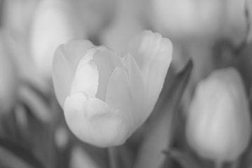 Weiße Tulpen in Schwarz weiß von Berthold Ambros