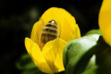 Biene in einer Frühlingsblume von Toni Stauche