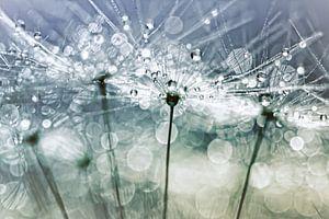 Blowball Bokeh Boogie.... (II) (pluis, lente, druppel)