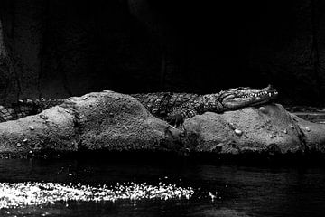 Krokodil von Daphne Brouwer