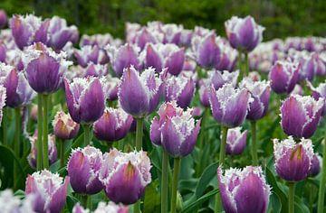 paarse tulpen van Compuinfoto .