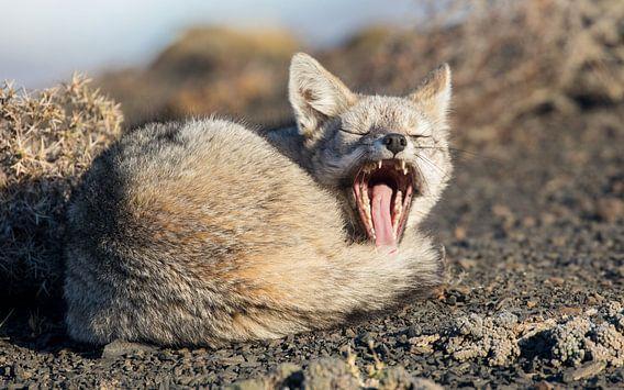 Gapende Patagonische vos