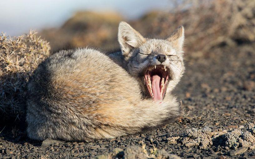 Gapende Patagonische vos van Lennart Verheuvel